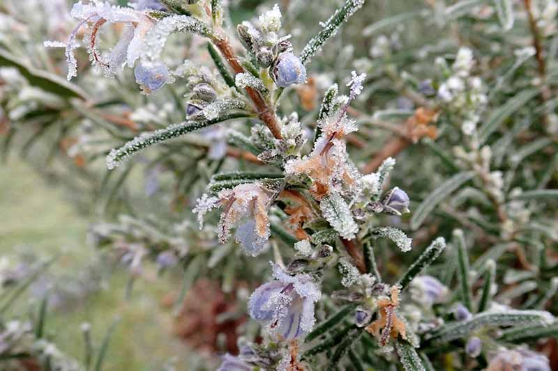 A close up of a sprig of Salvia rosmarinus with small purple flowers and frost covering the leaves and blossoms, fading to soft focus in the background.