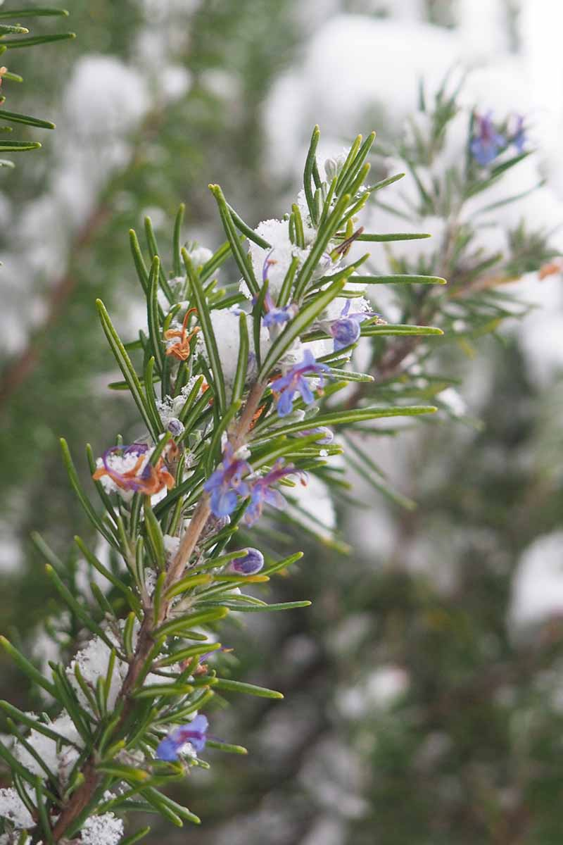 A close up vertical picture of a rosemary sprig with small purple flowers covered in a light dusting of snow on a soft focus background.