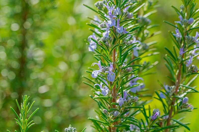 A close up of a rosemary plant in flower with light blue blooms contrasting with the bright green, needle-like leaves pictured in bright sunshine on a soft focus green background.