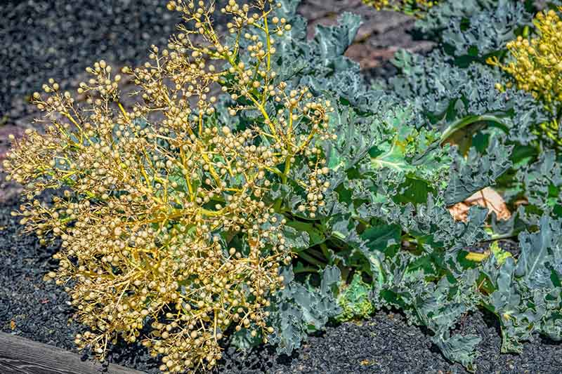 A close up of a flowering sea kale plant, Crambe maritima growing in the wild set on a soft focus background.