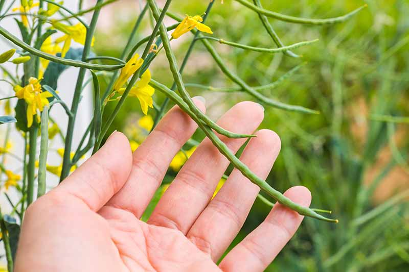 A hand from the bottom of the frame touches a seed pod on a kale plant with yellow flowers surrounding it on a soft focus green background.