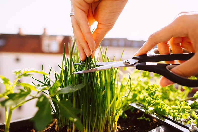 A close up of two hands, one holding scissors and the other holding the tops of a chive plant ready for snipping. In the background are other herbs growing in containers in bright sunshine.