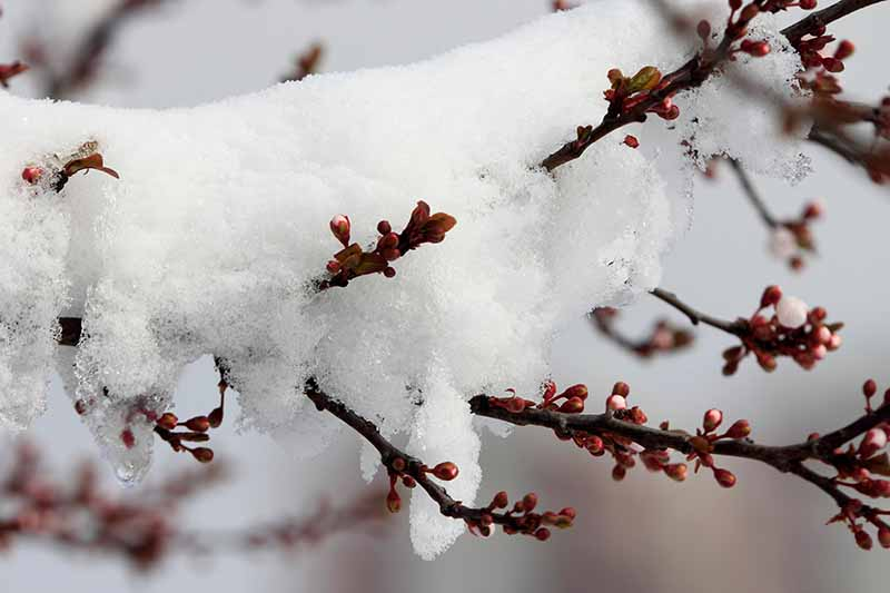 A close up of a branch of a Prunus armeniaca tree, with small red buds, covered in snow on a soft focus background.