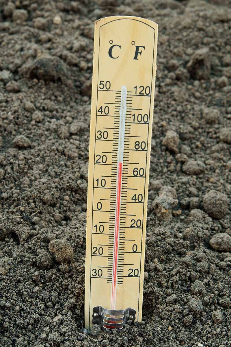 A close up vertical picture of a soil thermometer placed in the earth with soil in the background.