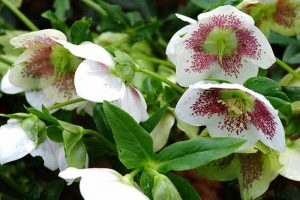 A close up of white flowers with purple specks of the hellebore plant just starting to form seeds in the center, surrounded by bright green foliage on a soft focus background.