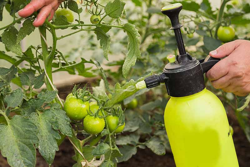 A close up of a hand from the right of the frame holding a yellow spray bottle and spraying tomato plants with organic fertilizer on a soft focus background.