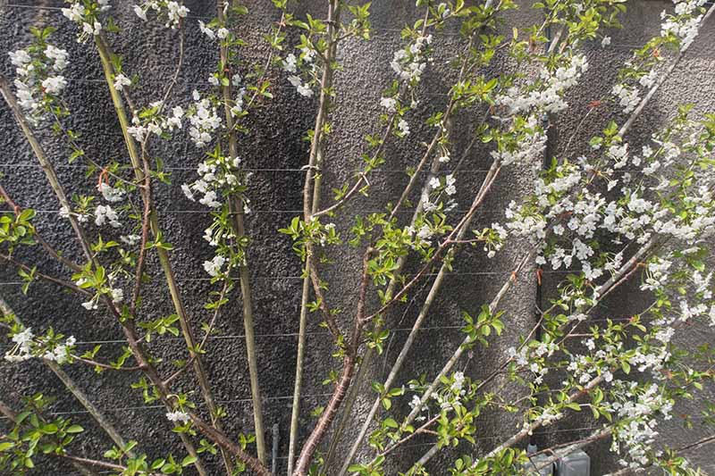 A close up of an 'English Morello' cherry bush trained on a trellis against a rustic wall with white blossoms.