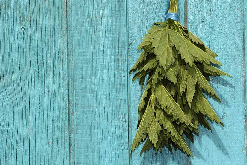 A bunch of Urtica dioica stems and leaves tied together and hanging upside down to dry on a blue wooden background.