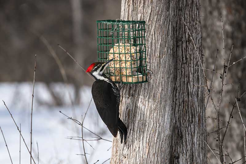 A close up of a woodpecker with a black body and red and white head pecking at a suet bird feeder attached to the trunk of a tree in a winter garden landscape. The background shows snow in soft focus.