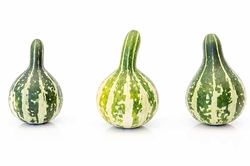 A close up of three 'Tennessee Spinning' gourds on a white background. The fruits are dark green, with light green speckles and stripes.