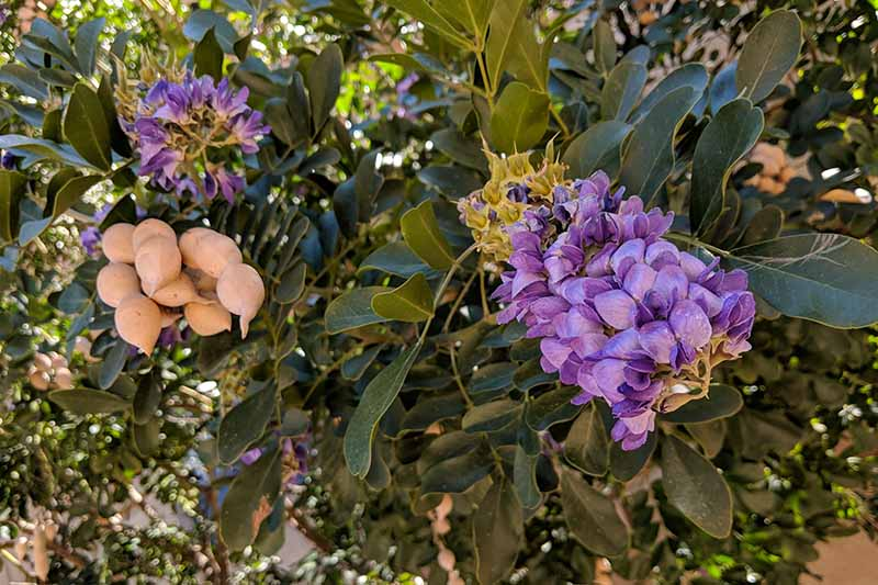 A close up of a Texas mountain laurel shrub with purple flowers and developing seed pods in light sunshine, fading to soft focus in the background.