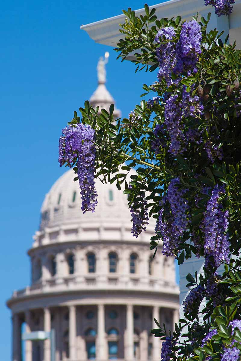 A vertical picture of a Texas mountain laurel shrub growing up the side of a building in bright sunshine. In the background is a large white building with a dome roof in soft focus with blue sky.