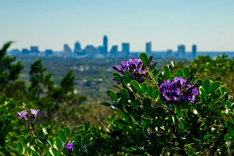A Texas mountain laurel bush, with purple flowers and bright green foliage in bright sunshine in a city park with the buildings in soft focus in the background.