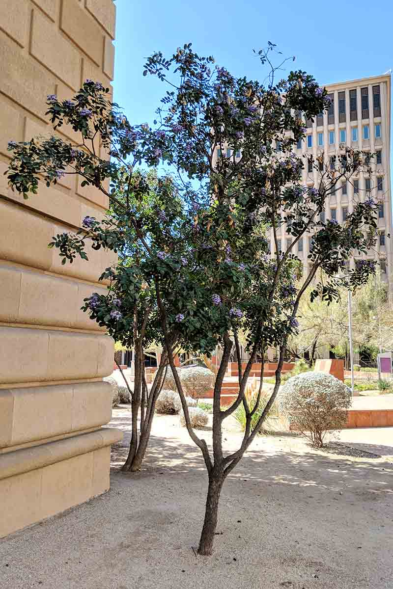 A Texas mountain laurel bush pruned to a tree-shape, planted in an urban area surrounded by buildings and other small shrubs in bright sunshine.