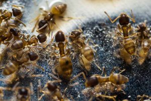 Controlling Thief Ants in Your House and Yard