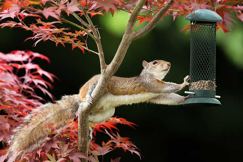 A close up of a squirrel in a Japanese maple tree with its back legs holding onto a branch and its front legs reaching to take seeds from a green metal hanging bird feeder.