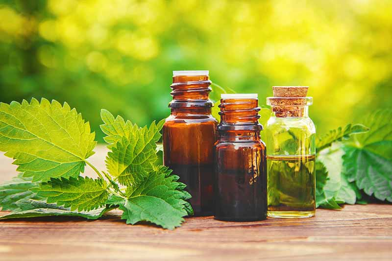 A close up of three small tincture bottles containing stinging nettle tincture with fresh leaves scattered beside them, set on a wooden surface with a green soft focus background.