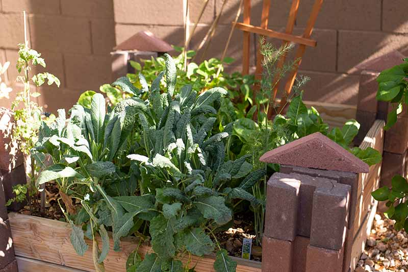 A close up of Tuscan kale growing in a wooden container outdoors with a brick wall in the background in filtered sunshine.