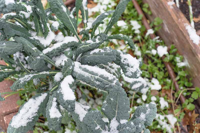 A close up of Tuscan Brassica oleracea growing in a wooden raised garden bed covered in a light dusting of snow.