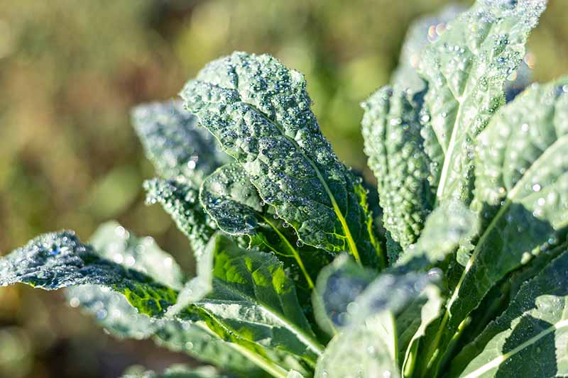 A close up of Tuscan kale leaves on the plant growing in the garden with droplets of water on the dark green leaves in light sunshine on a soft focus background.