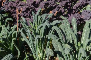 Sun Recommendations for Planting Kale