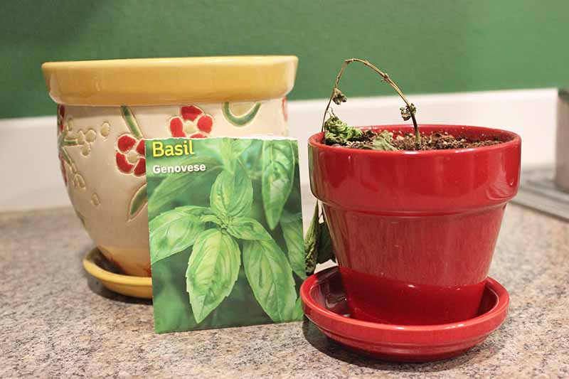A close up of two ceramic pots, one red and the other yellow with a packet of basil seeds in front of them set on a kitchen counter on a green background.