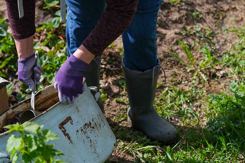 A close up of a person wearing purple gardening gloves spreading comfrey tea fertilizer on to crops in the garden.