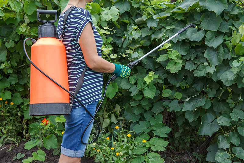 A close up of a woman's torso wearing an orange backpack garden sprayer and applying comfrey tea fertilizer to shrubs in the garden.