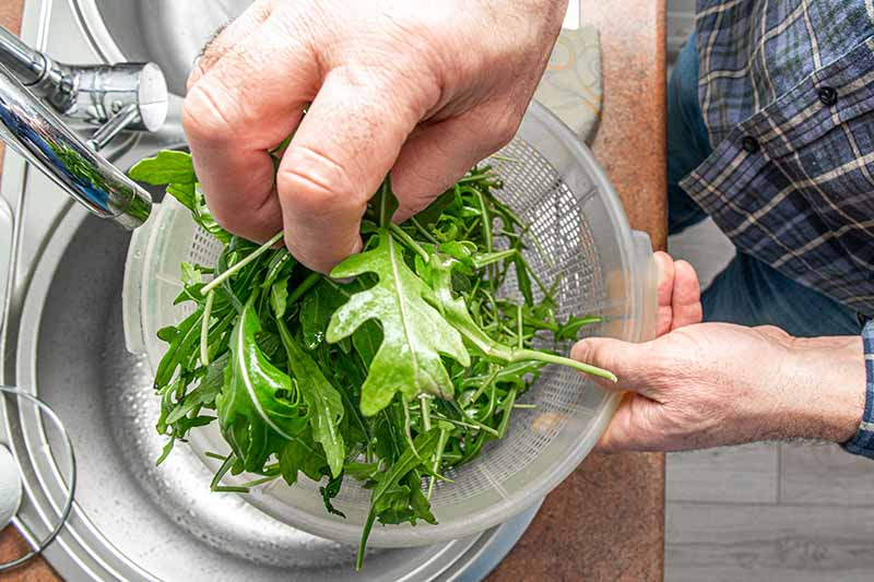 Two hands from the left of the frame, one holding a colander containing arugula leaves, and the other hand washing the greens under a tap.