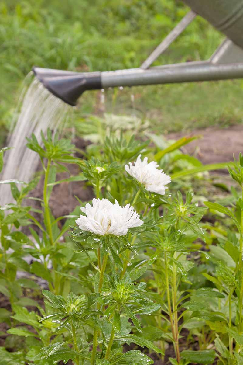 A vertical picture of a watering can from the right of the frame tending to a small white-flowered China aster plant, on a soft focus background.
