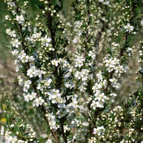 A close up of the 'Western Sand' cherry tree covered in white blossom in the spring, on a soft focus background.