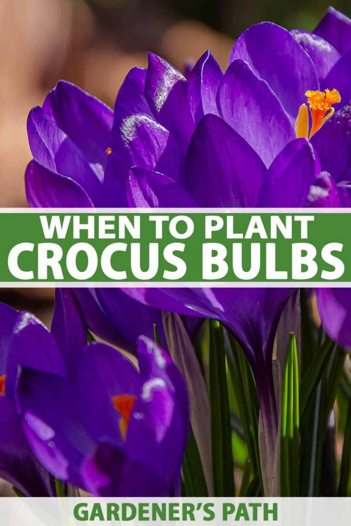 A vertical close up picture of purple crocus flowers with bright orange center on a soft focus background. To the center and bottom of the frame is green and white text.