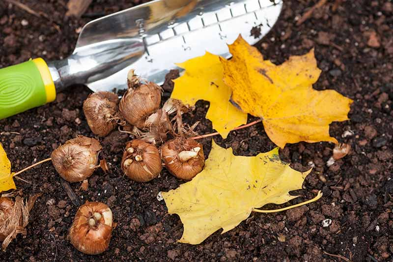 A close up of a gardening trowel and some crocus bulbs surrounded by fall leaves set on the soil ready for planting.