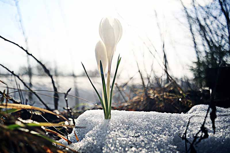 A close up of a white crocus flower in filtered sunshine pushing through some residual snow on the ground with trees in silhouette and in soft focus in the background.