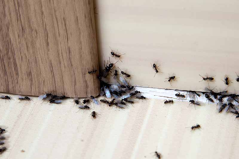 A close up of winged ants ready to swarm in a crack underneath a door inside a home.