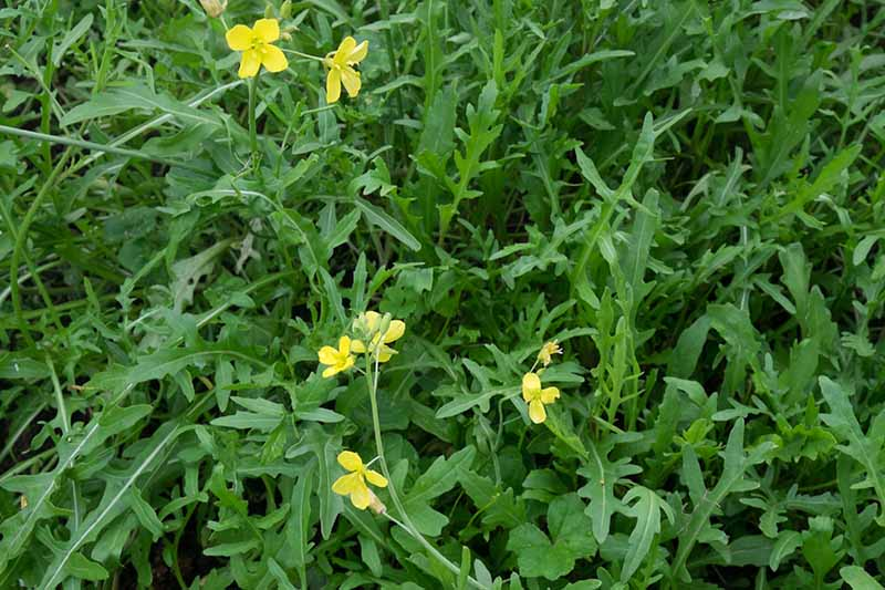 A close up of a bed of Eruca vesicaria plants that have started to bolt and produce small yellow flowers.
