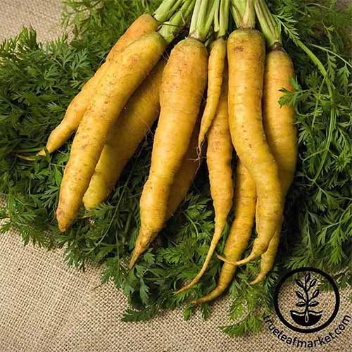 A close up of a bunch of 'Yellow' carrots set on a hessian surface with the bright leafy green tops still attached. To the bottom right of the frame is a black circular logo and text.