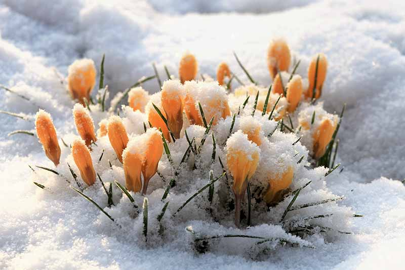 A close up of yellow crocus buds pushing through the snow in light sunshine fading to soft focus in the background.