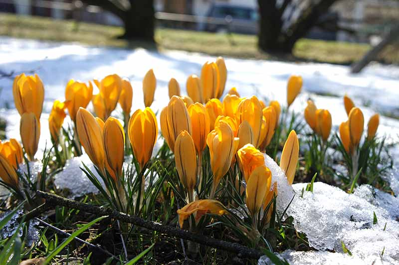 A close up of yellow crocus flowers growing in the bright sunshine in a snowy lawn with trees in soft focus in the background.