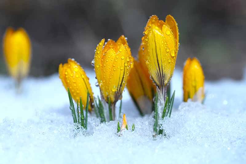 A close up of yellow crocus blooms pushing through the snow in early spring with water droplets on their petals in filtered sunshine on a soft focus background.