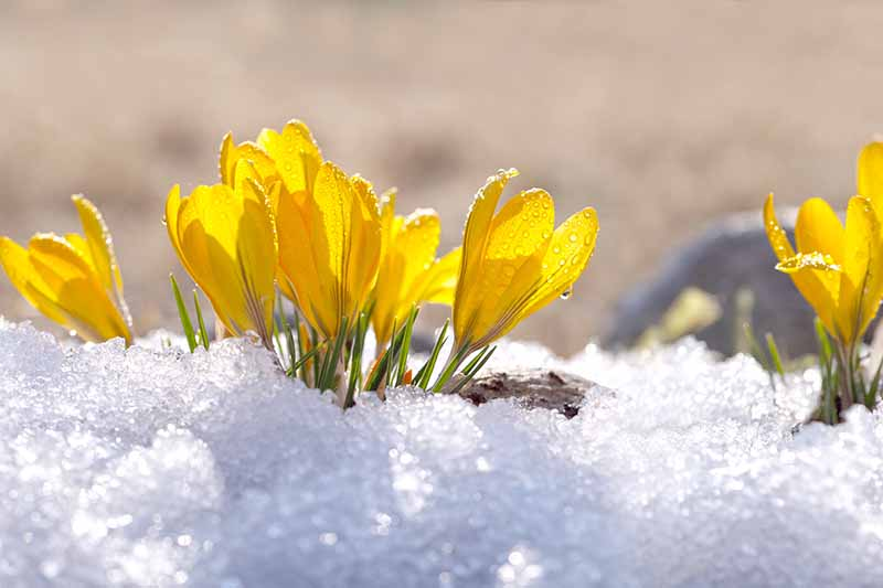 A close up of yellow crocus flowers growing through a blanket of snow in light sunshine with a soft focus background.