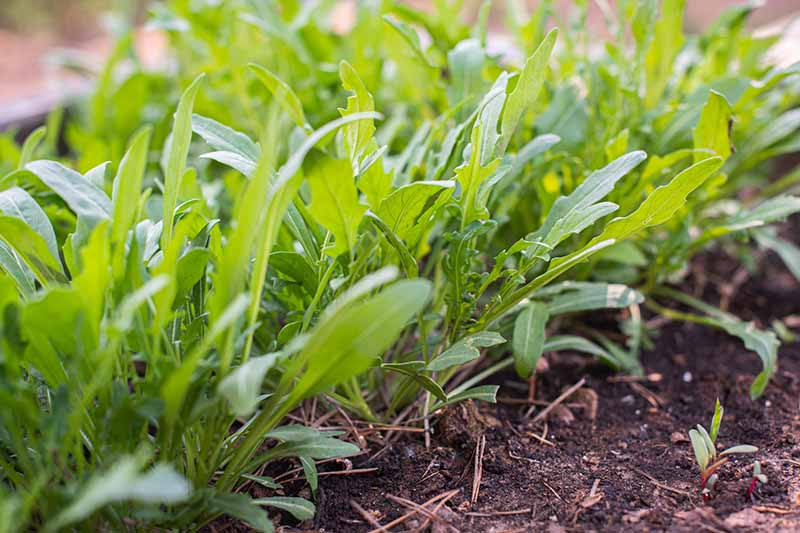 A close up of a row of young Eruca vesicaria greens growing in the garden in light sunshine with soil in the foreground, fading to soft focus in the background.