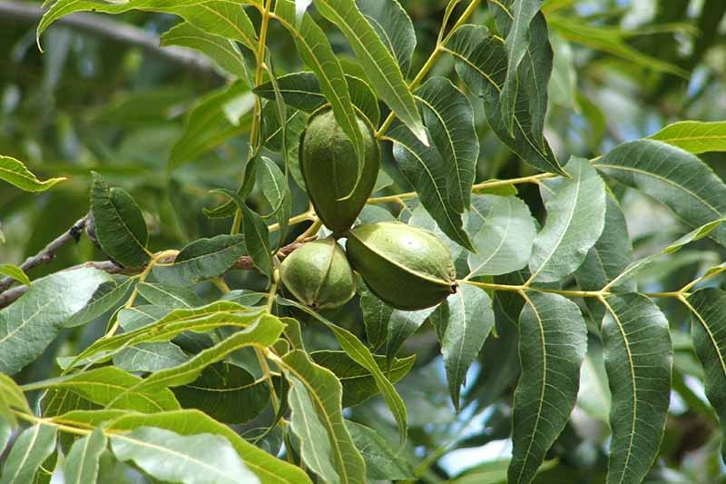 A cluster of immature pecan nuts still in green casings growing on the tree surrounded by foliage in light sunshine on a soft focus background.