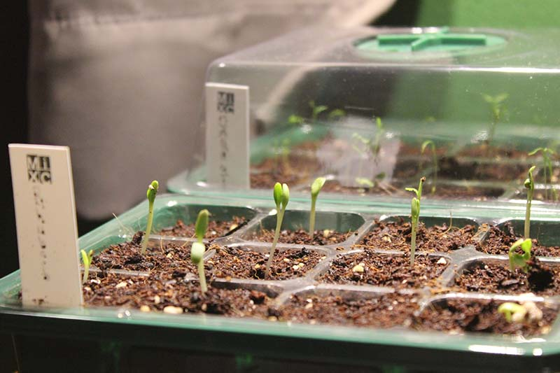 A close up of green seedling trays with small shoots just starting to germinate, fading to soft focus in the background.