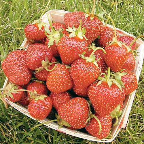 A close up of a wooden container with red ripe 'All Star' strawberries set on a green lawn.