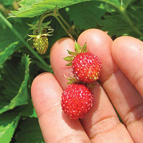 A close up of a hand holding two tiny bright red strawberries of the 'Alpine Alexandria' variety with bright green foliage and unripe fruit in the background.