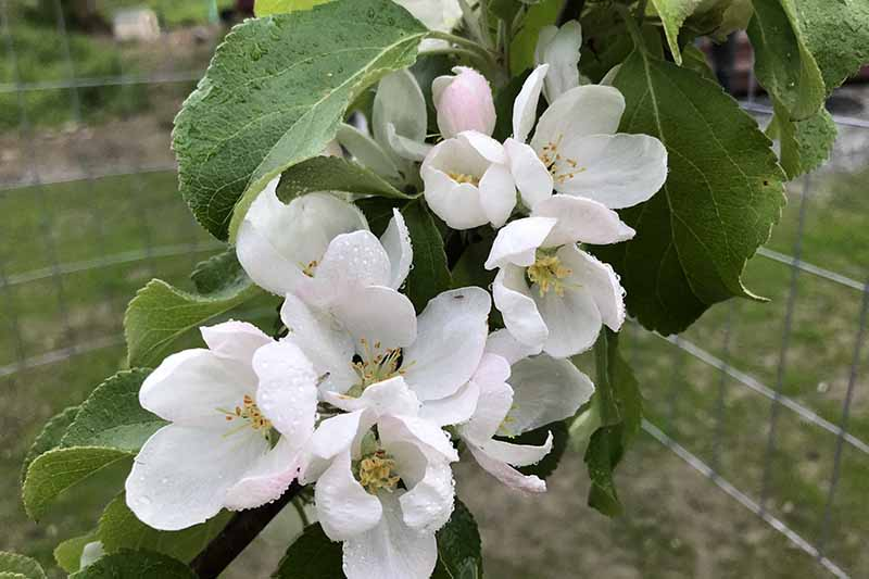 A close up of apple blossom surrounded by green foliage with light droplets of water on the surface of the flowers and leaves. A fence to keep out herbivores is seen in the background in soft focus.