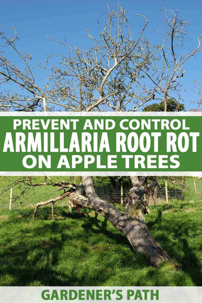 A vertical picture showing an apple tree that has fallen down after being infected by Armillaria root rot on a lawn with blue sky in the background. To the center and bottom of the frame is green and white text.