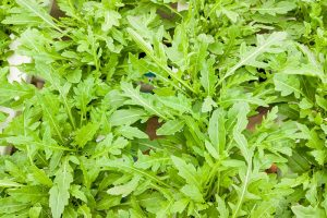 9 of the Best Arugula Varieties for Your Vegetable Patch