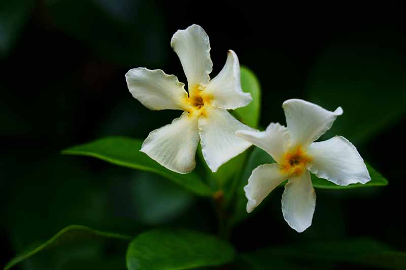 A close up of the delicate white flowers of Asiatic jasmine set on a dark, soft focus background.